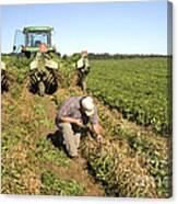 Farmer Inspects Peanut Field Canvas Print