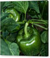 Farming Green Peppers Canvas Print