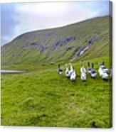 Faroes Geese Canvas Print