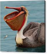 Feasting Brown Pelican  Canvas Print