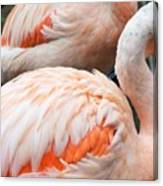 Feathers Of Flamingo Canvas Print
