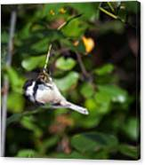 Feeding Black-capped Chickadee Canvas Print