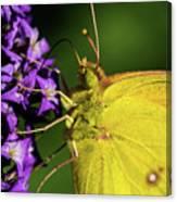 Feeding Butterfly Canvas Print