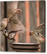 Feeding Finches Canvas Print