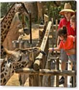 Feeding Giraffe 2 Canvas Print