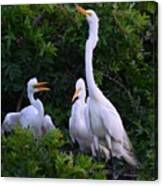 Feeding Time In The Great White Egret Rookery Canvas Print