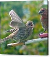 Female And Male Crossbills    August  Indiana Canvas Print