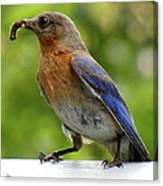 Female Bluebird Feeding Her Brood Canvas Print
