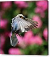 Female Bluebird In Flight Canvas Print