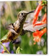 Female Broadtail Humingbird Canvas Print