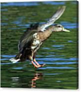 Female Duck Landing Canvas Print