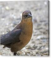 Female Grackle With Attitude Canvas Print