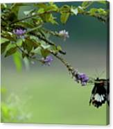 Female Great Mormon Butterfly On A Branch Canvas Print