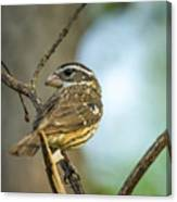 Female Grossbeak Looking Back Canvas Print