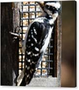 Female Hairy Woodpecker Canvas Print