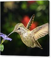 Female Hummingbird And A Small Blue Flower Left Angled View Canvas Print