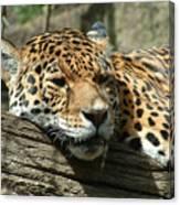Female Jaguar Canvas Print