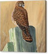 Female Kestrel Study Canvas Print