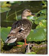 Female Mallard Among Lily Pads Canvas Print
