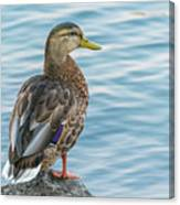 Female Mallard At The River Canvas Print