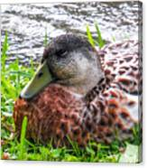 Female Mallard Duck Resting 4 Canvas Print