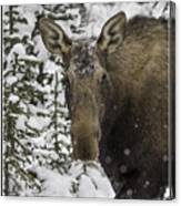 Female Moose In A Winter Wonderland Canvas Print