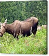 Female Moose Canvas Print