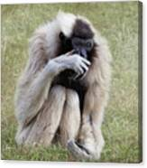 Female Pileated Gibbon, Gladys Porter Zoo Canvas Print