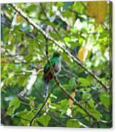 Female Quetzal Canvas Print
