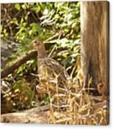 Female Ring-necked Pheasant - Phasianus Colchicus Canvas Print