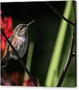 Female Rufous Hummingbird Canvas Print