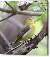 Female Scarlet Tanager Canvas Print