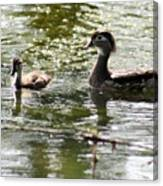 Female Wood Duck With Chick Canvas Print
