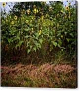 Fence Line Sunflowers Canvas Print