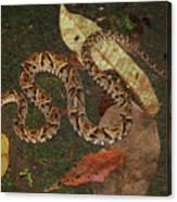 Fer-de-lance, Bothrops Asper Canvas Print