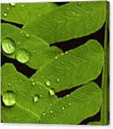 Fern Close-up With Water Droplets  Canvas Print