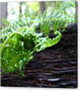 Fern On Redwood Tree Art Print Baslee Troutman Canvas Print