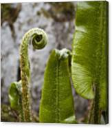 Fern Study At Blarney Castle Ireland Canvas Print