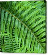 Ferns After A Spring Rain Canvas Print