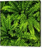 Ferns After The Rain Canvas Print
