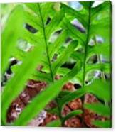 Ferns Art Prints Forest Ferns Giclee Art Prints Basle Troutman Canvas Print