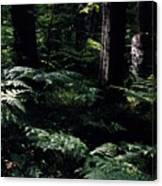 Ferns In The Forest Wc Canvas Print