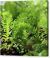 Ferns Of The Forest Floor Canvas Print