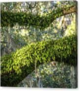 Ferns On Live Oak Canvas Print
