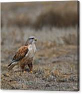 Ferruginous Hawk In Field Canvas Print