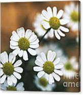 Feverfew Plant Canvas Print
