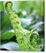 Fiddleback Fern Plant Unfurling In Springtime Canvas Print