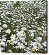 Field Dasies Canvas Print