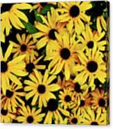 Field Of Black-eyed Susans Canvas Print
