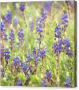 Field Of Blue Lupines  Canvas Print